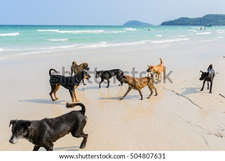 dogs are attacking each other on the beach. Phu Quoc Ridgeback, a breed of dog from Phu Quoc Island in Vietnam's southern Kien Giang Province