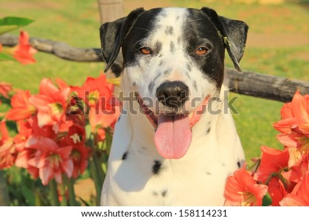 Dogs as pets - Background of the cute and adorable Man's best friend.  Dalmatian and Amarillo Flowers - stock photo