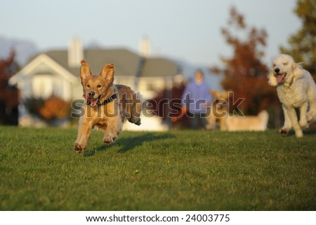 Dogs Chasing a Ball - stock photo