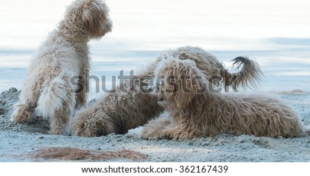 Dogs dig holes in the sand on the beach  - stock photo