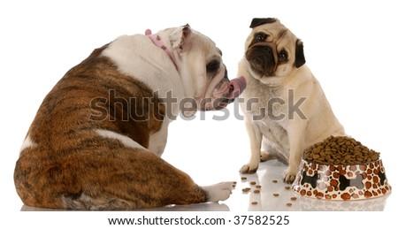 dogs eating - pug and english bulldog with attitude at pet food dish - stock photo