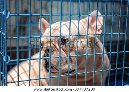 Dogs French Bulldogs in a cage. /Focus selection