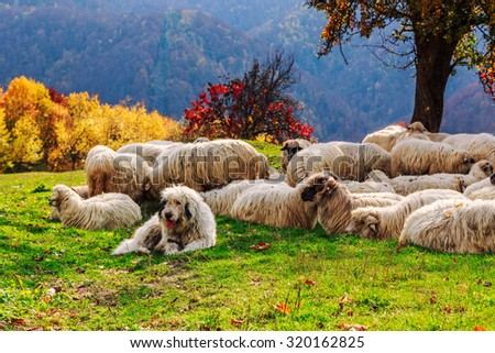 Dogs guard the sheep on the mountain pasture-Transylvania,Romania - stock photo