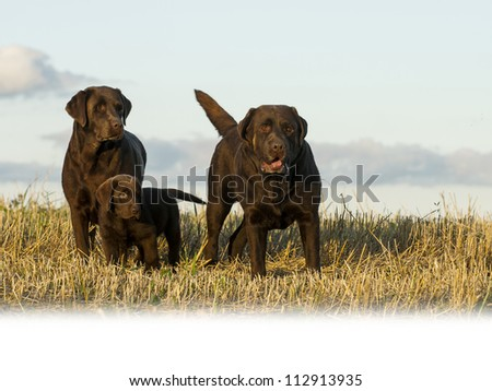 dogs in brown - stock photo