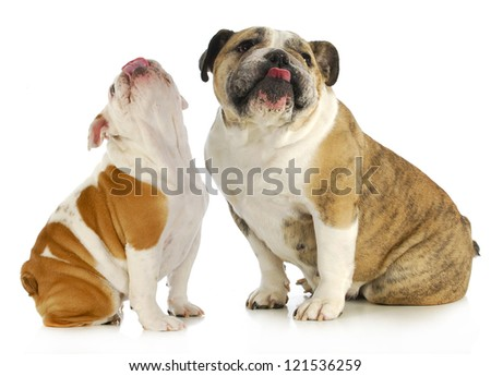 dogs licking - two english bulldog with their tongues out licking on white background