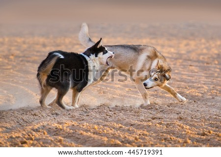 Dogs play in sand dust at sunset light