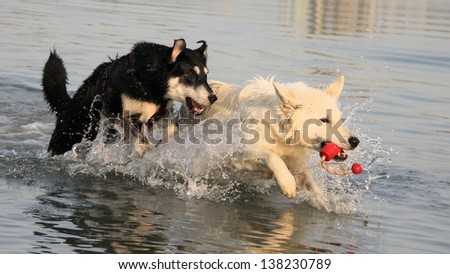 Dogs playfully chasing each other - stock photo