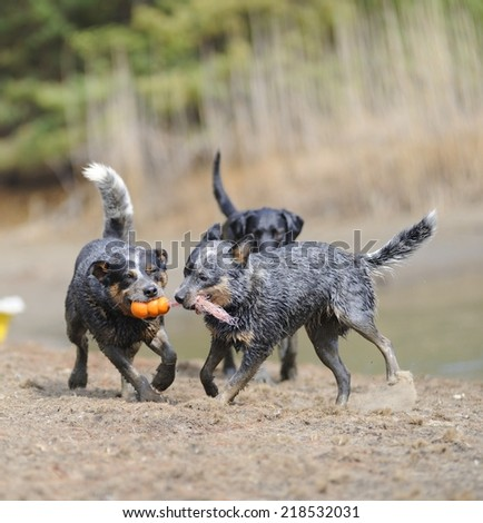 Dogs playing. Australian cattle dogs compete for a rubber toy during a training session , Underberg, Kwazulu Natal, South Africa  - stock photo