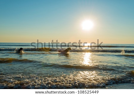 Dogs playing in sea at sunset