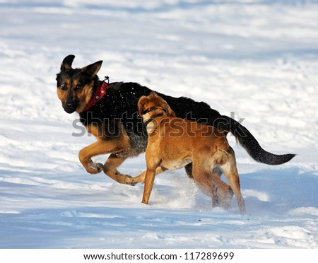 Dogs playing in snow - stock photo