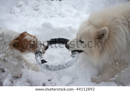 Dogs playing in snow with rubber toy