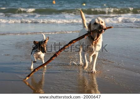 Dogs playing on the beach. - stock photo