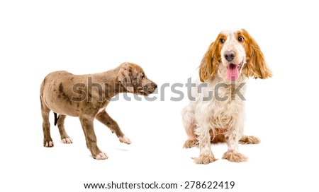 Dogs playing together isolated on white background - stock photo