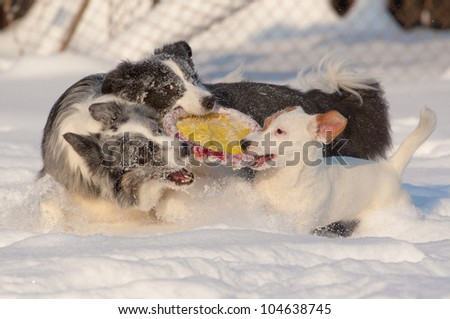 dogs playing with a frisbee in the snow - stock photo