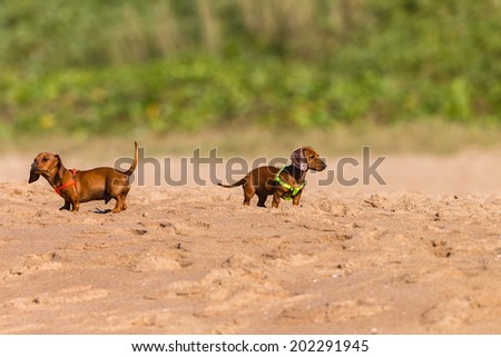Dogs Puppy Beagle Beach  Dog small puppy beagle animals on leash beach playtime adventure - stock photo