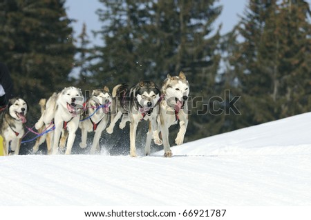 dogs team running in the snow - stock photo