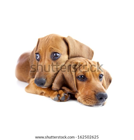 Dogs /  Two cute Dachshund Puppies / Isolated on white background - stock photo