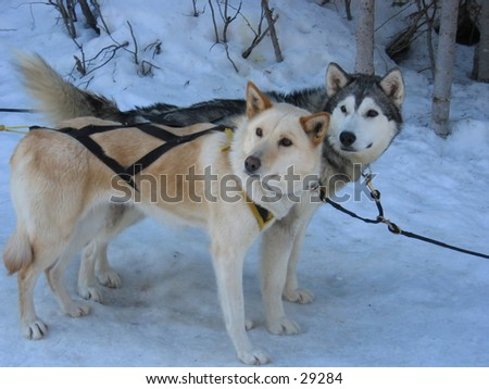 Dogs waiting to pull sleds. - stock photo