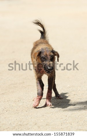 Dogs who suffer from skin. Walking on the sand in pain.