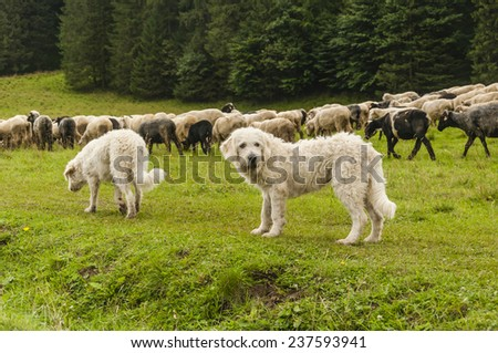 Dogs with a flock of sheep  - stock photo