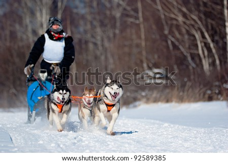 Dogsled Competition, focus on the first dog - stock photo