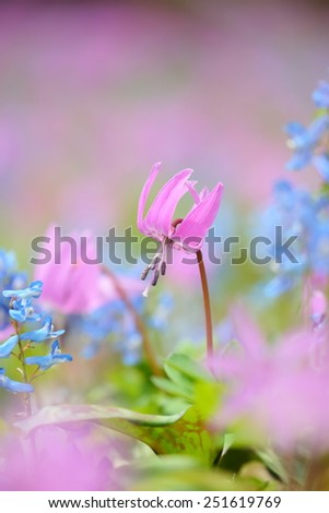 dogtooth violet  / fawn lily - stock photo