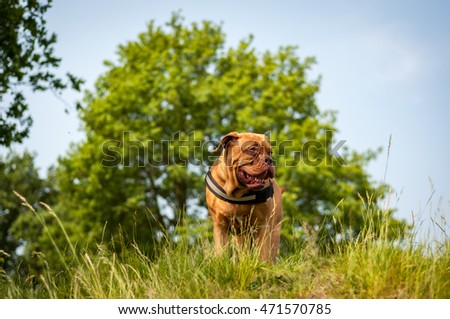 Dogue d bordeaux on the hill