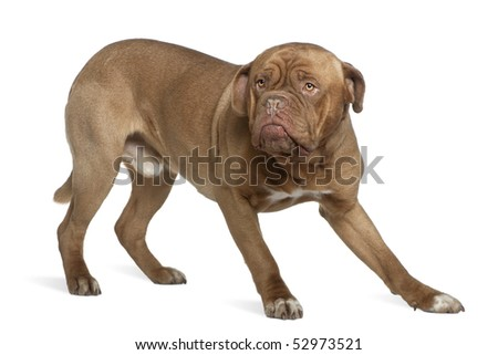 Dogue de Bordeaux, 1 and a half years old, standing in front of white background