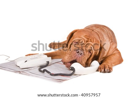 Dogue De Bordeaux Arguing over the phone on a newspaper ad