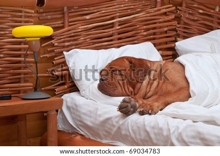Dogue De Bordeaux Comfortably Sleeping in bed with white sheets - stock photo