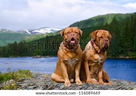 Dogue De Bordeaux couple against summer Norvegian landscape - stock photo