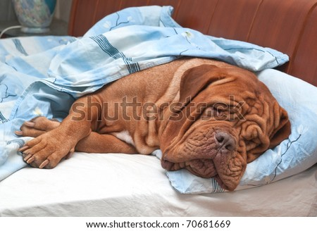Dogue De Bordeaux Dog (French Mastiff) Sleeping Sweetly in Owner's Bed - stock photo