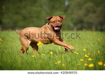 Dogue de Bordeaux dog runs on the grass - stock photo