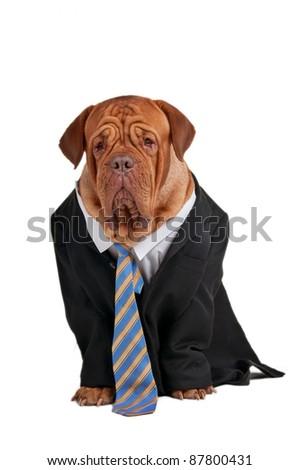 Dogue de bordeaux dresed like a serious businessman - stock photo