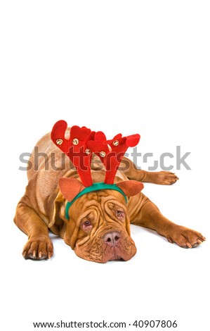 Dogue De Bordeaux Dressed as Christmas reindeer Rudolph - stock photo