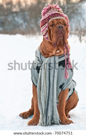 Dogue De Bordeaux dressed with hat, scarf and sweater, sitting on snow - stock photo