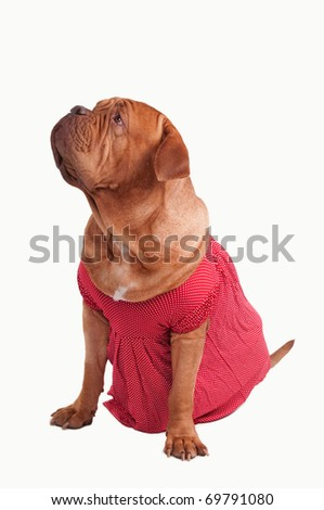 Dogue de bordeaux dressed with red romantic dress of polka-dot design looking up isolated on white background - stock photo