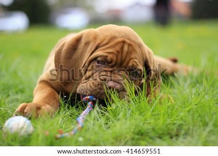 Dogue de Bordeaux - French Mastiff - Big dog puppy - stock photo