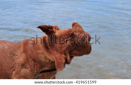 Dogue de Bordeaux French mastiff in water - stock photo