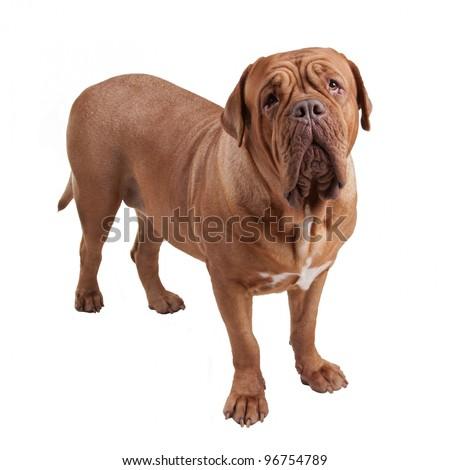 Dogue de Bordeaux/ French Mastiff isolated - stock photo