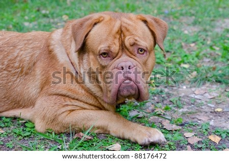 Dogue De Bordeaux/ French Mastiff on the grass - stock photo
