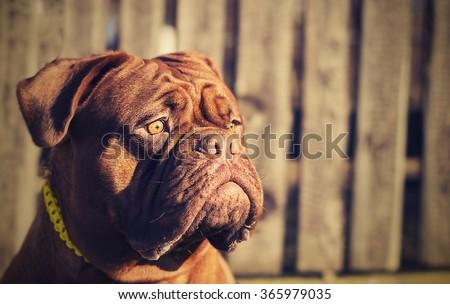 Dogue de Bordeaux head. Eighteen months. Red. - stock photo