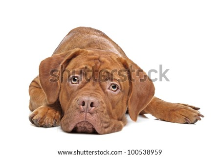 Dogue de Bordeaux in front of a white background - stock photo