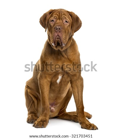 Dogue de Bordeaux in front of white background