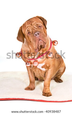 Dogue de Bordeaux is dressed up ready for Christmas - stock photo
