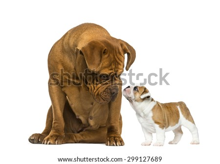 Dogue de bordeaux looking at a French Bulldog puppy in front of a white background - stock photo