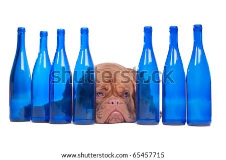 Dogue De Bordeaux lying between empty wine bottles - stock photo