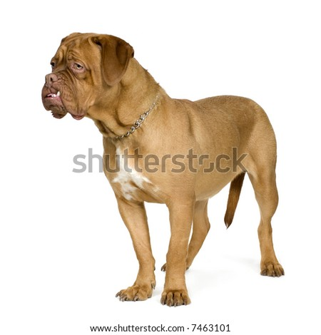 Dogue de Bordeaux (10 months) in front of a white background