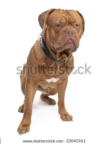 Dogue de Bordeaux (18 months old) in front of a white background - stock photo