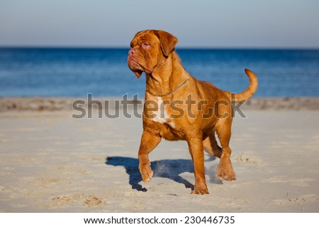 dogue de bordeaux on the beach - stock photo